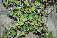 12 Polygonum chinense