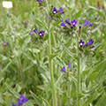 Anchusa officinalis (2) 120