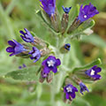 Anchusa officinalis (3) 120